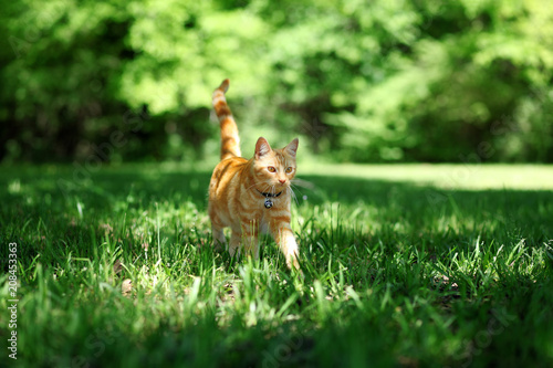 Pretty orange tabby cat walking through grass outside Fototapeta