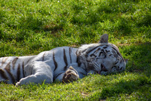 A Large White Male Bengal Tige...