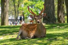 Deer In Nara Park. Japan.Deer ...