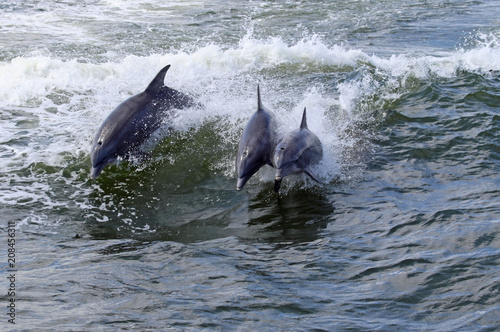 Keuken foto achterwand Dolfijn Three dolphins jumping in the surf