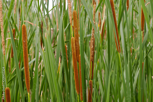Fotografie, Obraz  A close up of multiple cattail reeds with their stems on a pond