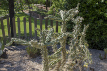 Cane Cholla Cactus In The Park. A Sunny Day.