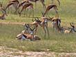 canvas print picture - Springbok herd, Antidorcas marsupialis, pasture Kalahari, South Africa