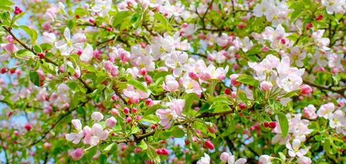 Panel Szklany Podświetlane Do kuchni Blooming pink apple tree.