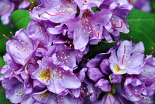 Purple Rhododendron Flowers Wi...