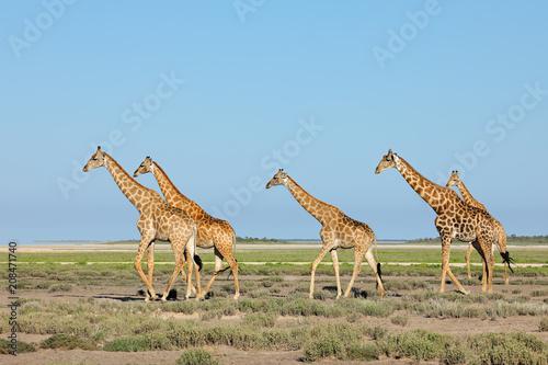 Photo  Giraffes (Giraffa camelopardalis) walking over the  plains of Etosha National Park, Namibia