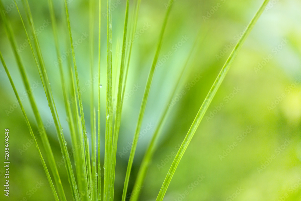 Fototapety, obrazy: Lines and textures of Green Palm leaves