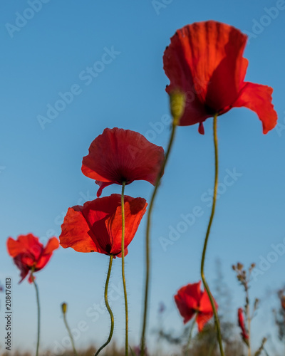 In de dag Poppy red poppies against the sky