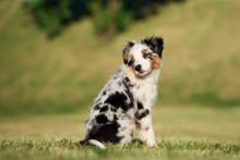 Mini Aussie Puppy Sitting Outdoors In Summer