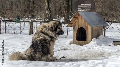 Fényképezés  An Illyrian Shepherd Dog (Sarplaninac) also known as Yugoslavian Shepherd and Sh