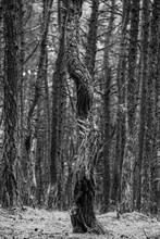 Dansing Pine Forest, Kaliningrad. The Coastal Pine Forest Is Full Of Gnarled And Twisted Trees That Seem To Grow In Every Direction. Black And White Toned