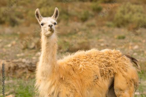 Foto op Aluminium Lama Funny portrait of a lama.