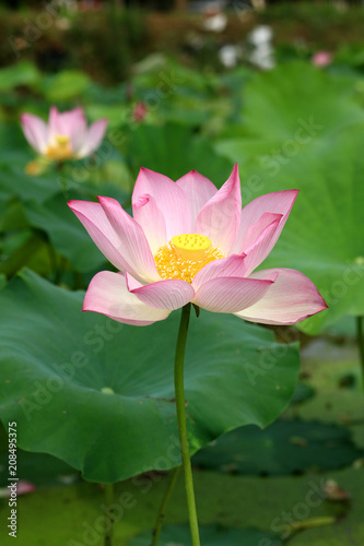 Foto op Canvas Lotusbloem Dongting original lotus flowers