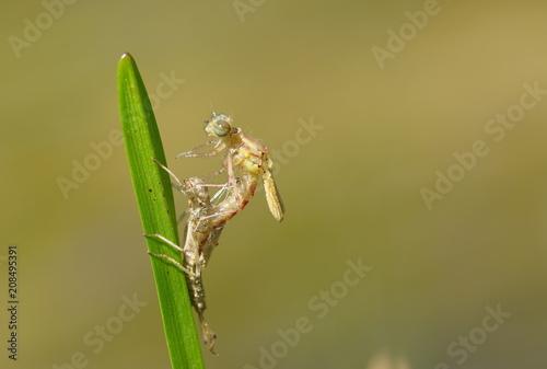Libellenschlupf Nahaufnahme
