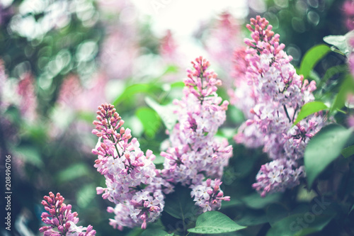 Keuken foto achterwand Lilac Beautiful purple lilac flowers outdoors