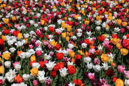 Photo  Fläche mit blühenden Tulpen