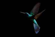 Hummingbird, Sparkling Violete...