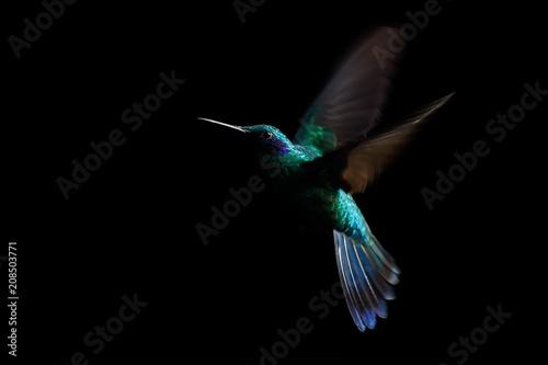 Obraz na płótnie Hummingbird, sparkling violetear (Colibri coruscans) in flight