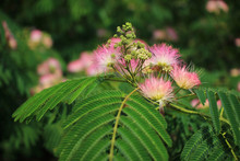 Image Of Cute Fluffy Blooming Pink Flower. Albizia Julibrissin. Persian Silk Tree, Pink Silk Tree. Amazing Bright Tropical Flowers