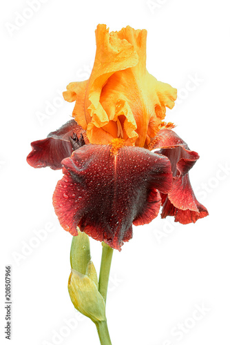 wet yellow and purple color iris flower isolated on white background