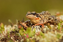 Grass Frog - Rana Temporaria S...