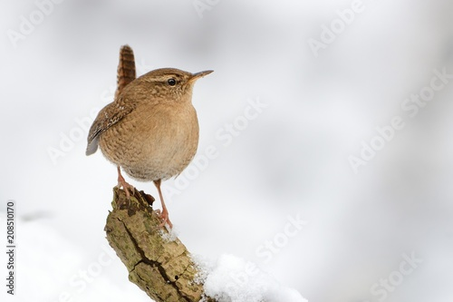 Fotografie, Obraz  Eurasian Wren (Troglodytes troglodytes) standing on the branch with snow