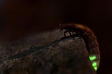 Glow Worm - Lampyris Noctiluca...