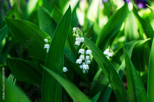 Poster de jardin Muguet de mai Lily of the valley, beauty, Wallpaper, background
