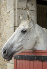 Portrait of a white horse's head in the stall