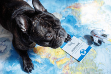French Bulldog Lies On The Wor...
