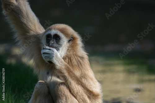 Foto op Plexiglas Aap Monkey sitting and eating