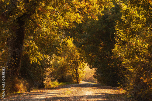 Foto op Plexiglas Landschappen Tunnel from the oak trees over a road in the Italy, natural seasonal european autumn background