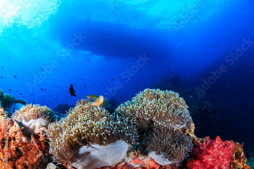 Staande foto Koraalriffen Skunk Clownfish on a tropical coral reef with a boat overhead