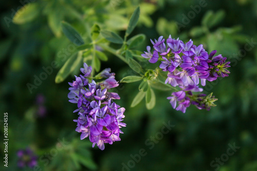 Photo Flowers of alfalfa in the field.Medicago sativa.