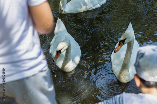 Mute swan, Cygnus olor, being fed by  children