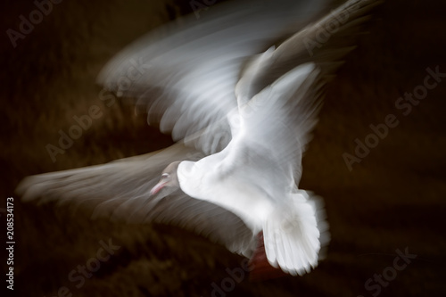 White seagull waving its wings in flight on a dark background in long exposition, slow shutter