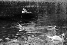 Gull And Swan On The Pond Black And White Image