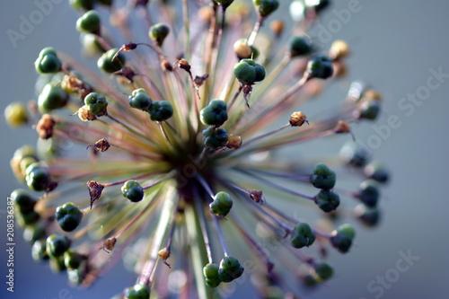 Obraz A close view of a horseradish flower (zbliżenie na kwiat chrzanu) - fototapety do salonu