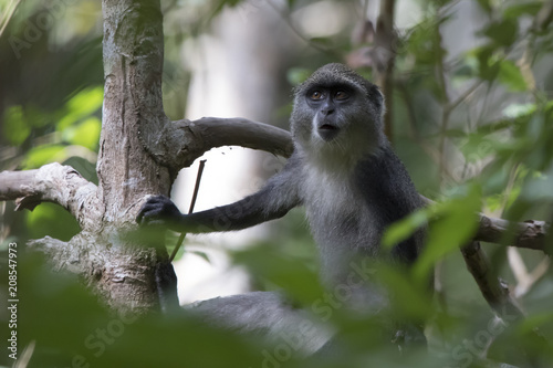 young blue monkey or diademed monkey who sits on a branch in the Zanzibar jungle Canvas Print