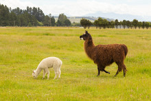 White And Brown Alpaca Over Gr...