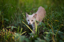 Young Orange Shorthair Tabby Cat Exploring In A Field Of Green Grass