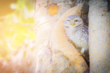 Baby Owl In Tree Hole, Wildlife Animal In Tropical Jungle