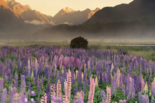 Purple Lupine Flower With Mountain Background Morning View, New Zealand Natural Landscape Background