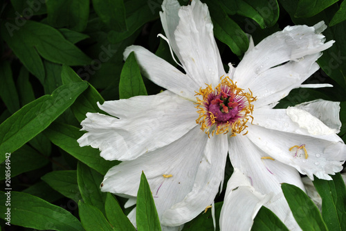 Fotografie, Obraz  White peony  flower with purple-yellow pistil and stamen close up detail, top vi