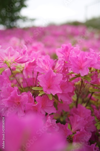 Papiers peints Azalea Azalea (tsutsuji, Rhododendron sp.)