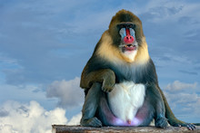 Mandrill Monkey Portrait On Sk...