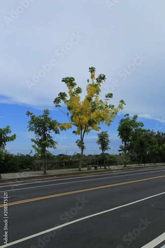 Tuinposter Olijfboom Cassia fistula in Tainan, Taiwan / yellow flower in tropical in summer