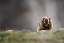Curious Adult Brown Alpine Marmot Close Up. Marmota Marmota ( Woodchuck ) In Central Asian Mountains.