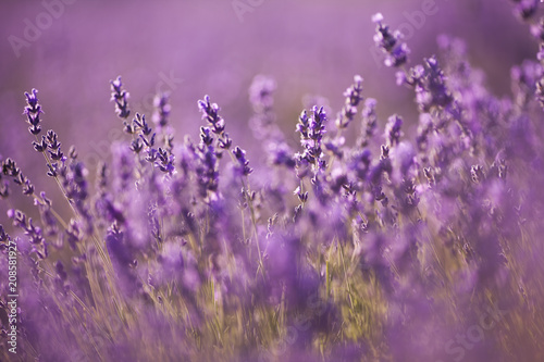 Fototapety, obrazy: beautiful lavender field at sunset