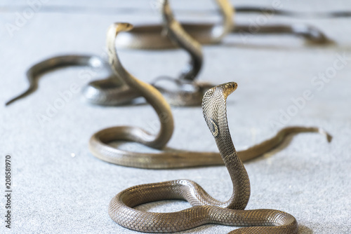 King cobras with upright heads